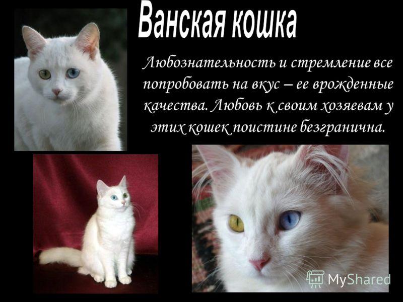 Любознательность и стремление все попробовать на вкус – ее врожденные качества. Любовь к своим хозяевам у этих кошек поистине безгранична.