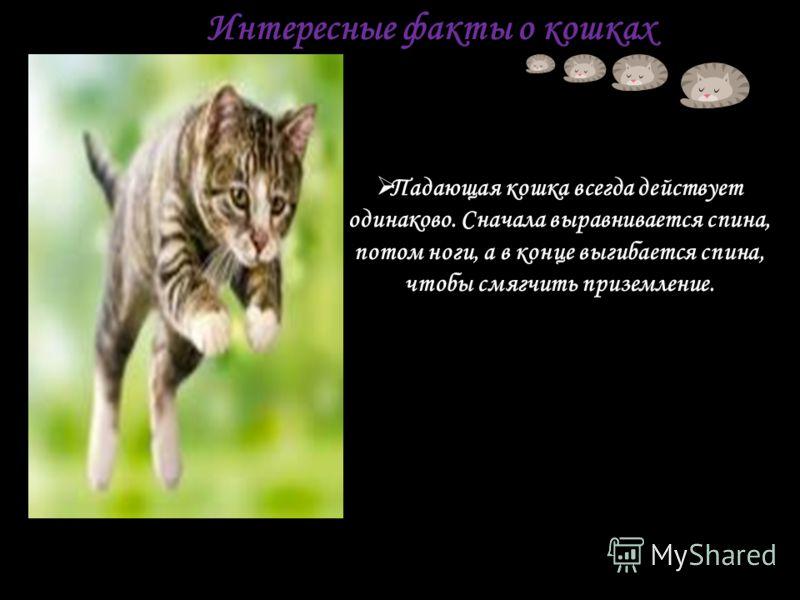 Интересные факты о кошках Падающая кошка всегда действует одинаково. Сначала выравнивается спина, потом ноги, а в конце выгибается спина, чтобы смягчить приземление.