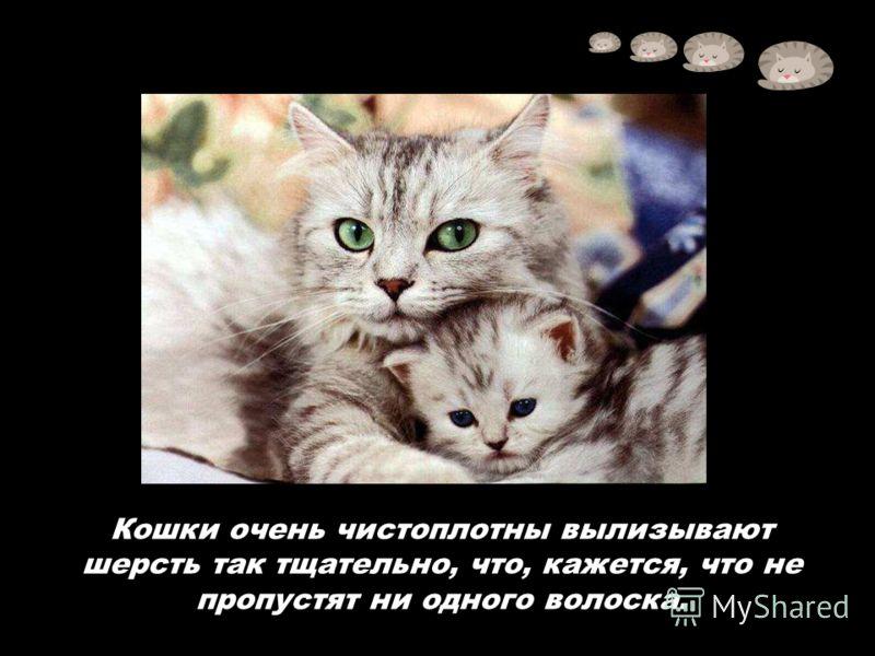 Кошки очень чистоплотны вылизывают шерсть так тщательно, что, кажется, что не пропустят ни одного волоска.
