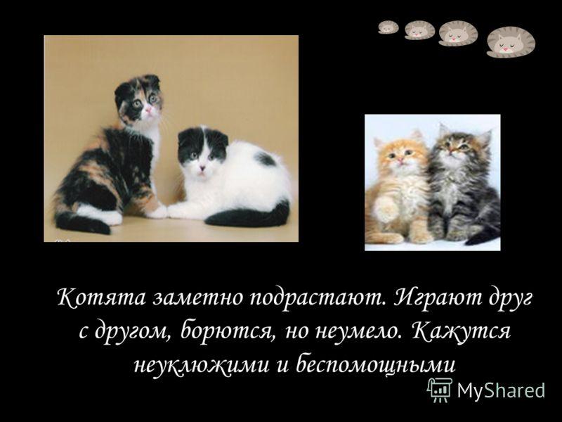 Котята заметно подрастают. Играют друг с другом, борются, но неумело. Кажутся неуклюжими и беспомощными