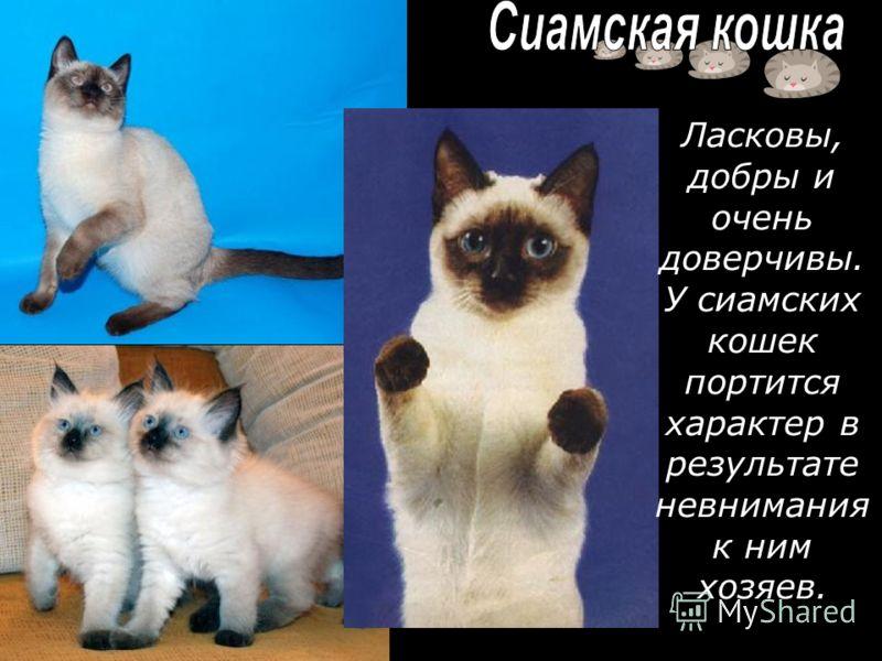 Ласковы, добры и очень доверчивы. У сиамских кошек портится характер в результате невнимания к ним хозяев.