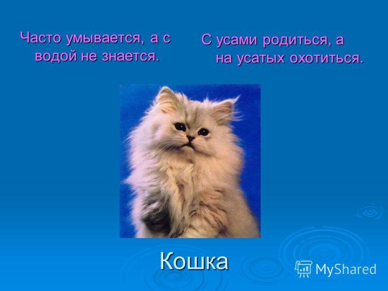 Кошка Часто умывается, а с водой не знается. С усами родиться, а на усатых охотиться.