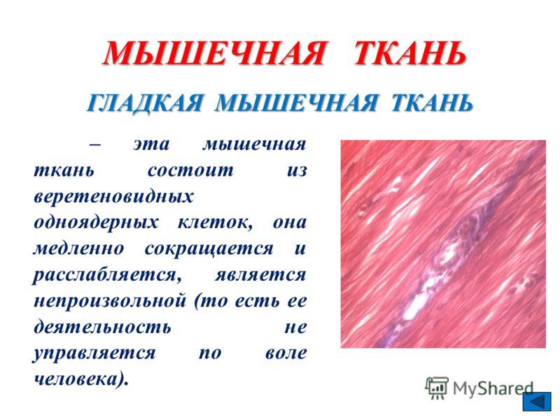 – эта мышечная ткань состоит из веретеновидных одноядерных клеток, она медленно сокращается и расслабляется, является непроизвольной (то есть ее деятельность не управляется по воле человека). ГЛАДКАЯ МЫШЕЧНАЯ ТКАНЬ