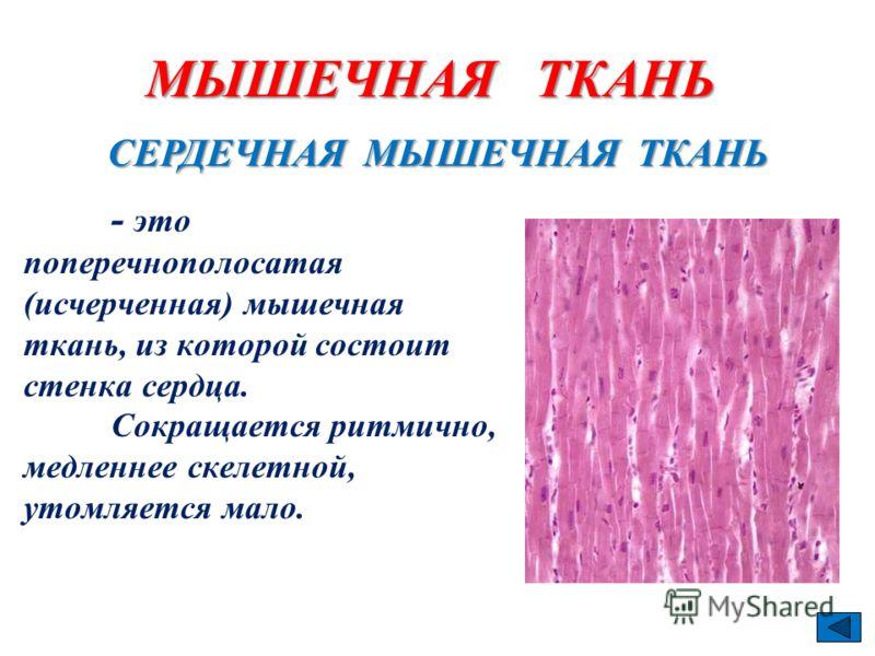 МЫШЕЧНАЯ ТКАНЬ - это поперечнополосатая (исчерченная) мышечная ткань, из которой состоит стенка сердца. Сокращается ритмично, медленнее скелетной, утомляется мало. СЕРДЕЧНАЯ МЫШЕЧНАЯ ТКАНЬ