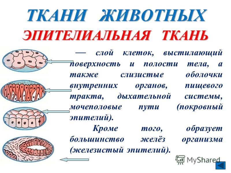 ТКАНИ ЖИВОТНЫХ слой клеток, выстилающий поверхность и полости тела, а также слизистые оболочки внутренних органов, пищевого тракта, дыхательной системы, мочеполовые пути (покровный эпителий). Кроме того, образует большинство желёз организма (железист