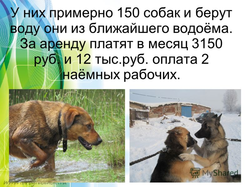 У них примерно 150 собак и берут воду они из ближайшего водоёма. За аренду платят в месяц 3150 руб. и 12 тыс.руб. оплата 2 наёмных рабочих.
