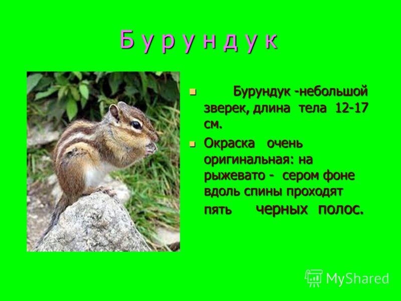 Б у р у н д у к Бурундук -небольшой зверек, длина тела 12-17 см. Бурундук -небольшой зверек, длина тела 12-17 см. Окраска очень оригинальная: на рыжевато - сером фоне вдоль спины проходят пять черных полос. Окраска очень оригинальная: на рыжевато - с