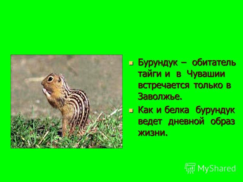 Бурундук – обитатель тайги и в Чувашии встречается только в Заволжье. Бурундук – обитатель тайги и в Чувашии встречается только в Заволжье. Как и белка бурундук ведет дневной образ жизни. Как и белка бурундук ведет дневной образ жизни.