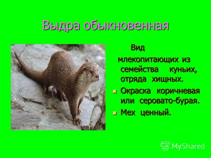 Выдра обыкновенная Вид Вид млекопитающих из семейства куньих, отряда хищных. млекопитающих из семейства куньих, отряда хищных. Окраска коричневая или серовато-бурая. Окраска коричневая или серовато-бурая. Мех ценный. Мех ценный.