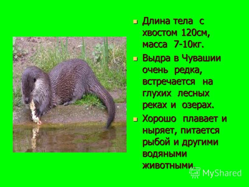 Длина тела с хвостом 120см, масса 7-10кг. Длина тела с хвостом 120см, масса 7-10кг. Выдра в Чувашии очень редка, встречается на глухих лесных реках и озерах. Выдра в Чувашии очень редка, встречается на глухих лесных реках и озерах. Хорошо плавает и н