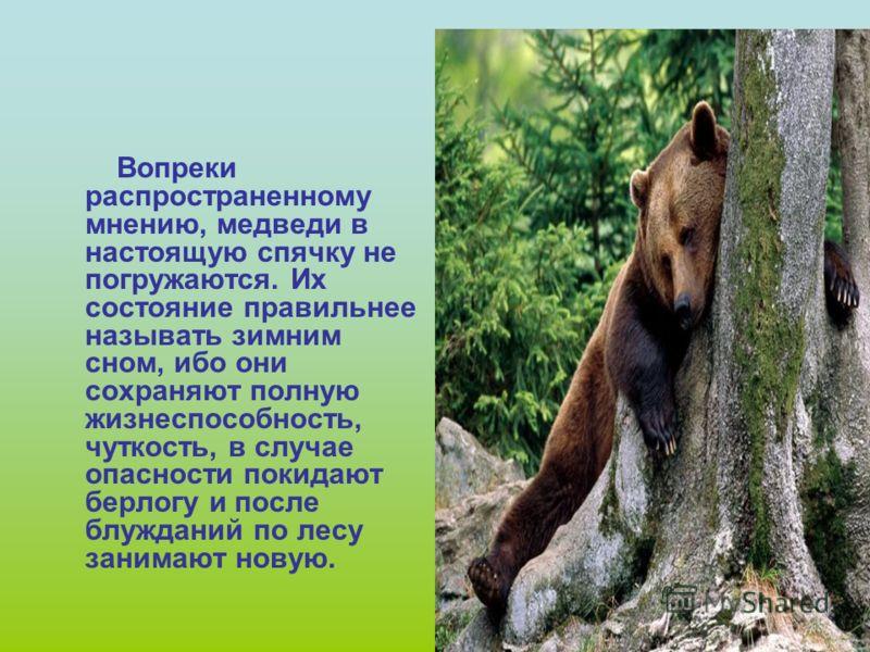 В берлоге медведь спит всю зиму. Сон его чуток: при шуме он просыпается и вылезает наружу. Напрасно искать медвежьи следы, он залегает в берлогу ещё до снега. Исключение составляют медведи- шатуны. Это медведи, выгнанные из берлоги и не нагулявшиеся.