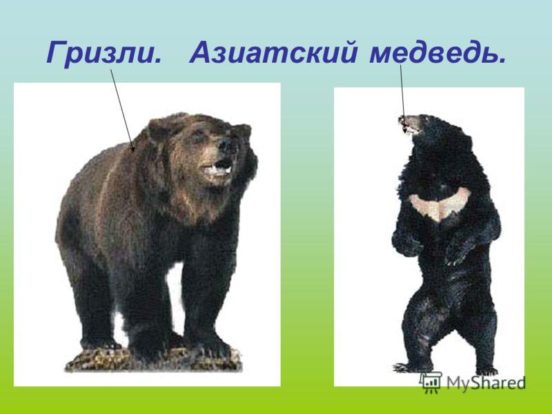 Какие бывают медведи…