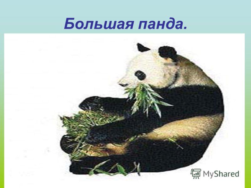 Гризли. Азиатский медведь.