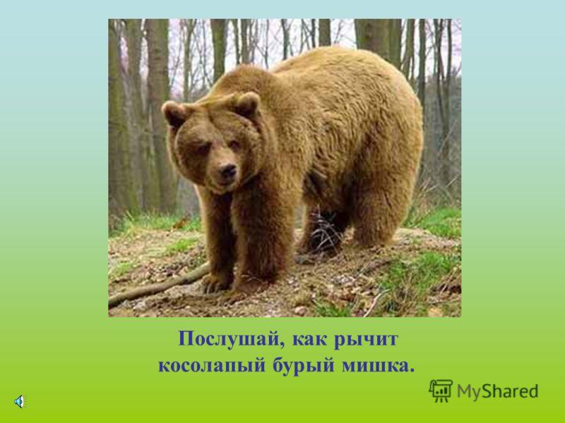 По образу жизни бурый медведь- сумеречное животное. Днём скрывается в глухих местах тайги и только вечером выходит на поиски корма. Лес доставляет ему обильную и разнообразную пищу.