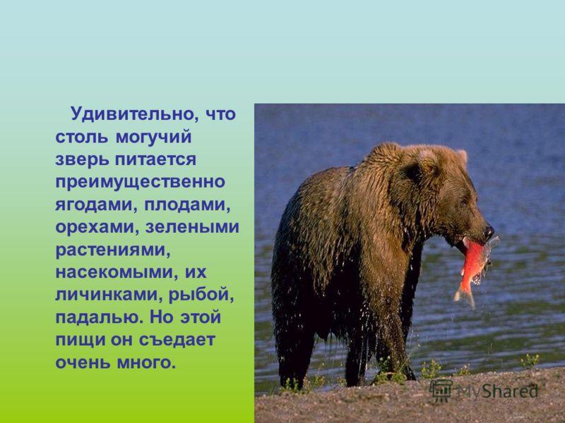Вот что медведь говорит о себе сам… Я представитель Красной книги – бурый медведь. Я очень сильный, ловкий, смелый. И я очень большой сладкоежка. Люблю полакомиться ягодами малины, черники, брусники, черемухи, а также плодами дикорастущих деревьев. Н