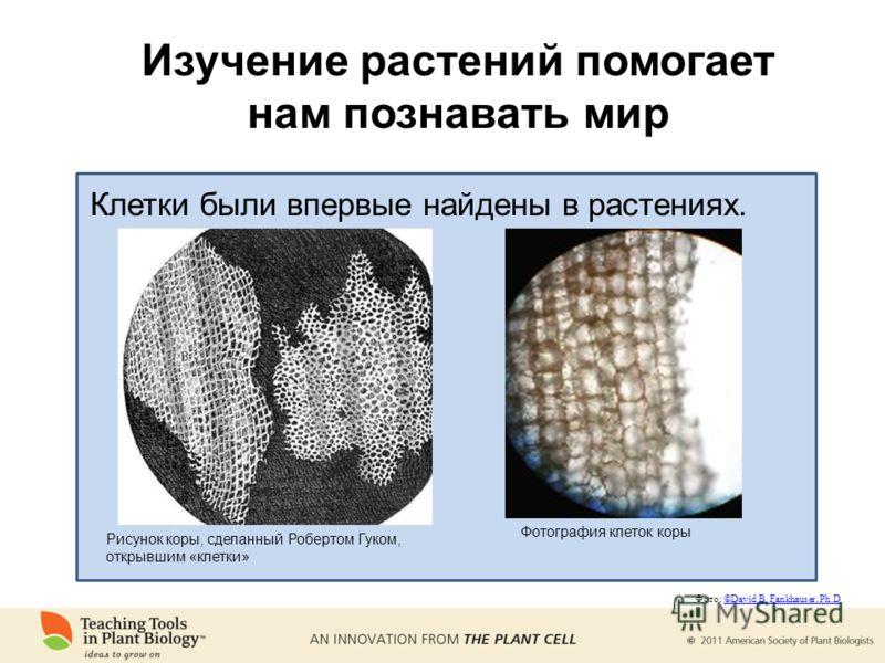 Изучение растений помогает нам познавать мир Рисунок коры, сделанный Робертом Гуком, открывшим «клетки» Клетки были впервые найдены в растениях. Фотография клеток коры Фото: ©David B. Fankhauser, Ph.D©David B. Fankhauser, Ph.D