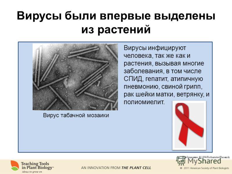 Вирусы были впервые выделены из растений Вирус табачной мозаики Вирусы инфицируют человека, так же как и растения, вызывая многие заболевания, в том числе СПИД, гепатит, атипичную пневмонию, свиной грипп, рак шейки матки, ветрянку, и полиомиелит. Изо