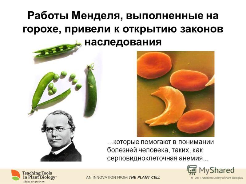 ...которые помогают в понимании болезней человека, таких, как серповидноклеточная анемия... Работы Менделя, выполненные на горохе, привели к открытию законов наследования