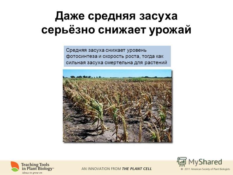 Даже средняя засуха серьёзно снижает урожай Средняя засуха снижает уровень фотосинтеза и скорость роста, тогда как сильная засуха смертельна для растений