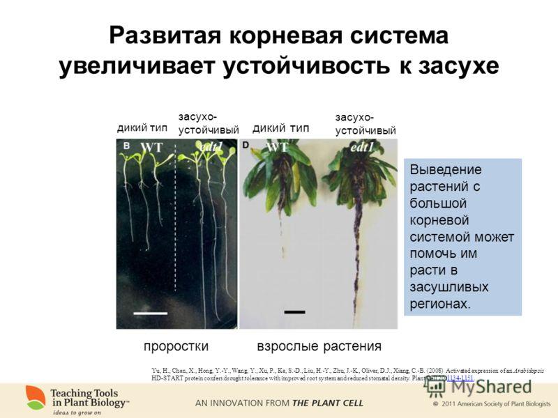 Развитая корневая система увеличивает устойчивость к засухе проросткивзрослые растения дикий тип засухо- устойчивый засухо- устойчивый Выведение растений с большой корневой системой может помочь им расти в засушливых регионах. Yu, H., Chen, X., Hong,