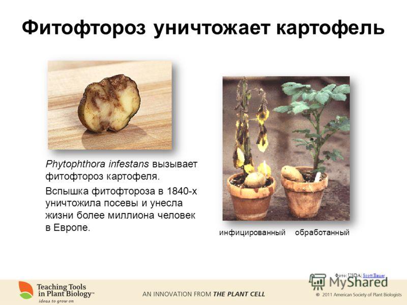 Фитофтороз уничтожает картофель Phytophthora infestans вызывает фитофтороз картофеля. Вспышка фитофтороза в 1840-х уничтожила посевы и унесла жизни более миллиона человек в Европе. Фото: USDA; Scott BauerScott Bauer инфицированный обработанный