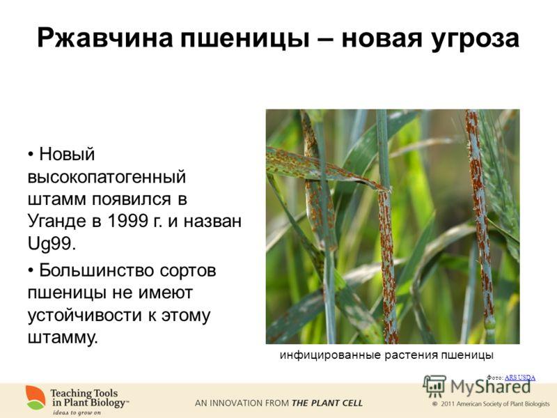 Ржавчина пшеницы – новая угроза Новый высокопатогенный штамм появился в Уганде в 1999 г. и назван Ug99. Большинство сортов пшеницы не имеют устойчивости к этому штамму. инфицированные растения пшеницы Фото: ARS USDAARS USDA