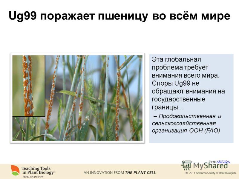 Ug99 поражает пшеницу во всём мире Эта глобальная проблема требует внимания всего мира. Споры Ug99 не обращают внимания на государственные границы... – Продовольственная и сельскохозяйственная организация ООН (FAO) Фото: ARS USDAARS USDA