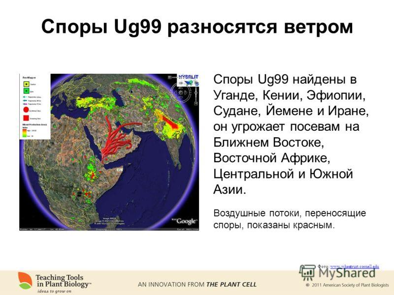 Споры Ug99 разносятся ветром Споры Ug99 найдены в Уганде, Кении, Эфиопии, Судане, Йемене и Иране, он угрожает посевам на Ближнем Востоке, Восточной Африке, Центральной и Южной Азии. Воздушные потоки, переносящие споры, показаны красным. Фото: www.whe