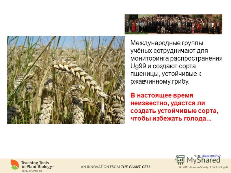 Международные группы учёных сотрудничают для мониторинга распространения Ug99 и создают сорта пшеницы, устойчивые к ржавчинному грибу. В настоящее время неизвестно, удастся ли создать устойчивые сорта, чтобы избежать голода... Фото: Bluemoose; FAOBlu