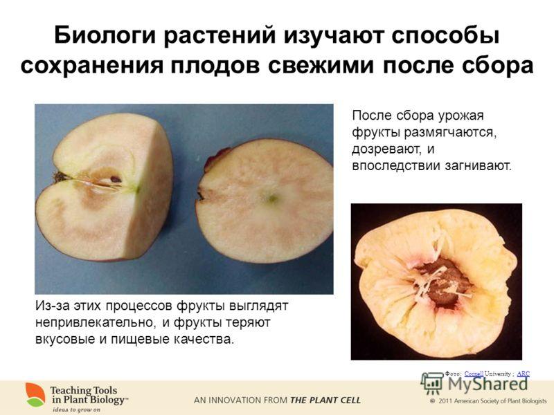 Биологи растений изучают способы сохранения плодов свежими после сбора После сбора урожая фрукты размягчаются, дозревают, и впоследствии загнивают. Из-за этих процессов фрукты выглядят непривлекательно, и фрукты теряют вкусовые и пищевые качества. Фо