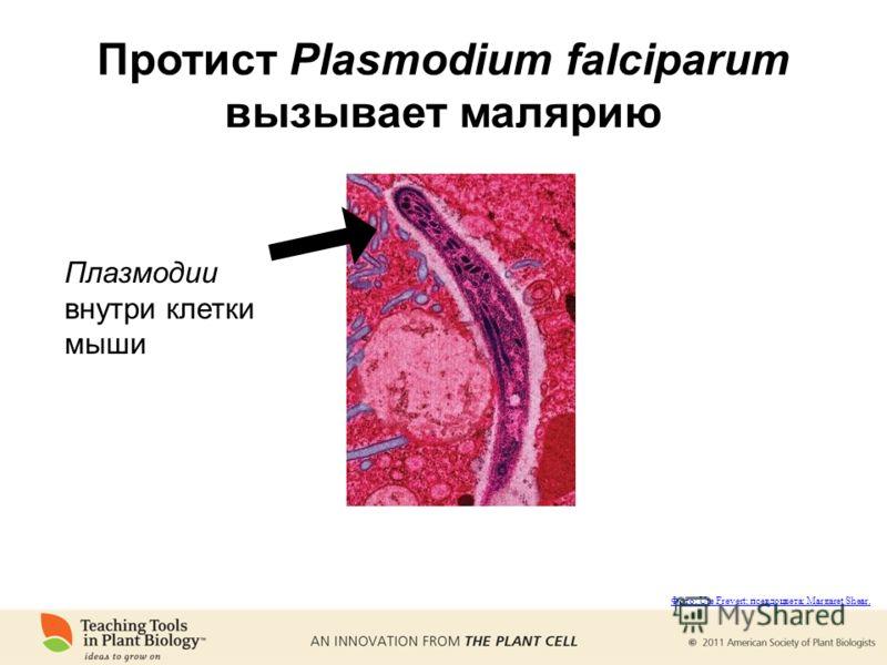 Протист Plasmodium falciparum вызывает малярию Плазмодии внутри клетки мыши Фото: Ute Frevert; псевдоцвета: Margaret Shear.