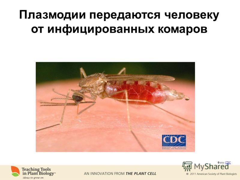 Плазмодии передаются человеку от инфицированных комаров Фото: CDCCDC