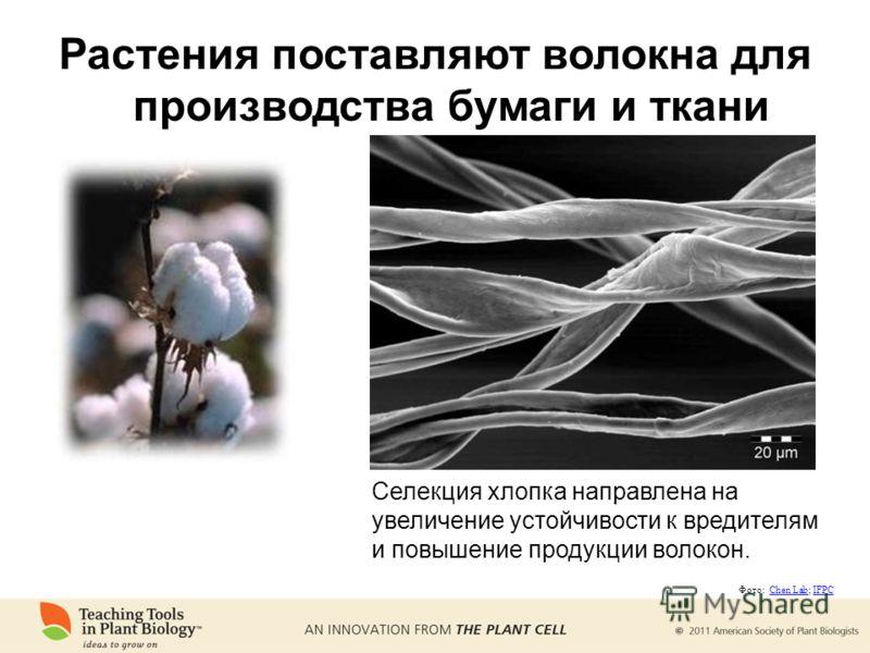 Растения поставляют волокна для производства бумаги и ткани Селекция хлопка направлена на увеличение устойчивости к вредителям и повышение продукции волокон. Фото: Chen Lab; IFPCChen LabIFPC