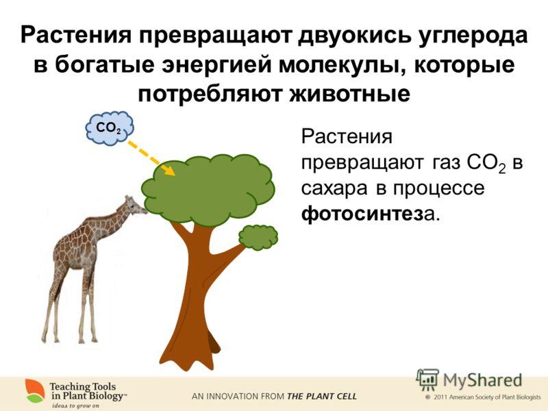 Растения превращают двуокись углерода в богатые энергией молекулы, которые потребляют животные CO 2 Растения превращают газ CO 2 в сахара в процессе фотосинтеза.