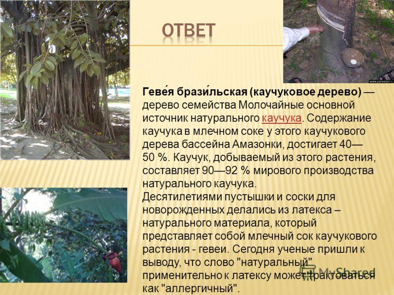 Геве́я брази́льская (каучуковое дерево) дерево семейства Молочайные основной источник натурального каучука. Содержание каучука в млечном соке у этого каучукового дерева бассейна Амазонки, достигает 40 50 %. Каучук, добываемый из этого растения, соста