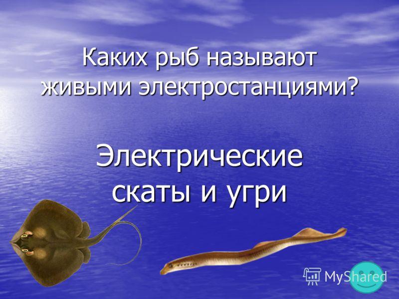 Каких рыб называют живыми электростанциями? Электрические скаты и угри
