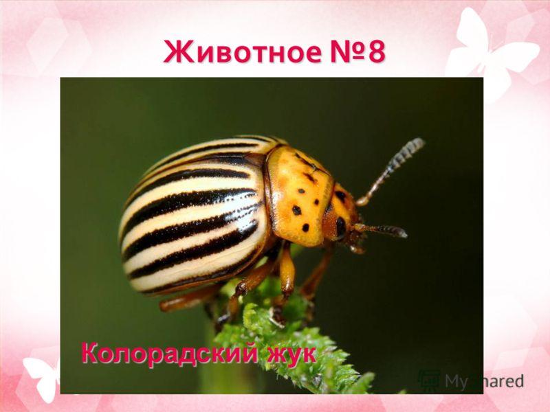 Животное 8 Колорадский жук
