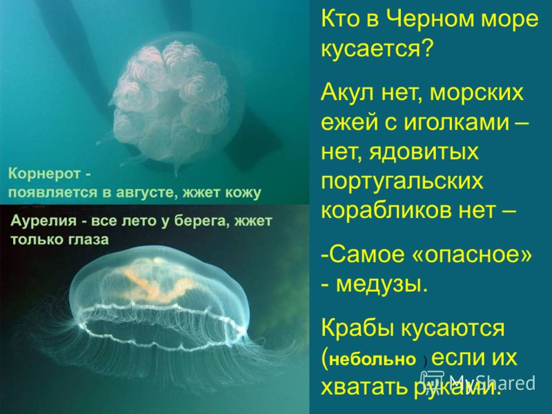 Кто в Черном море кусается? Акул нет, морских ежей с иголками – нет, ядовитых португальских корабликов нет – -Самое «опасное» - медузы. Крабы кусаются ( небольно ) если их хватать руками.