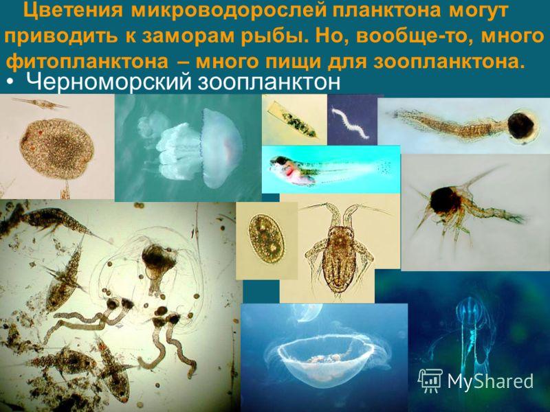 Цветения микроводорослей планктона могут приводить к заморам рыбы. Но, вообще-то, много фитопланктона – много пищи для зоопланктона. Черноморский зоопланктон