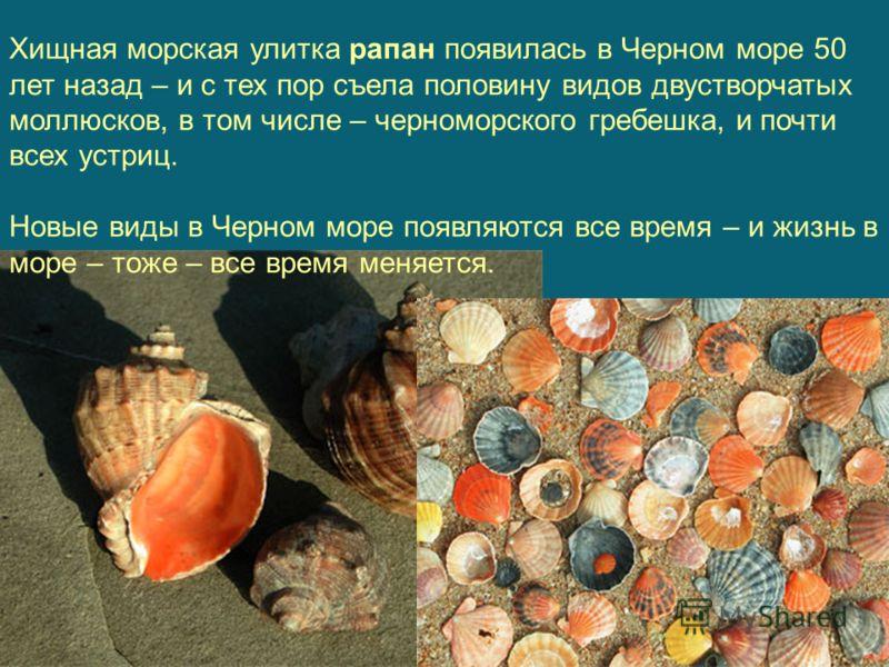 Хищная морская улитка рапан появилась в Черном море 50 лет назад – и с тех пор съела половину видов двустворчатых моллюсков, в том числе – черноморского гребешка, и почти всех устриц. Новые виды в Черном море появляются все время – и жизнь в море – т