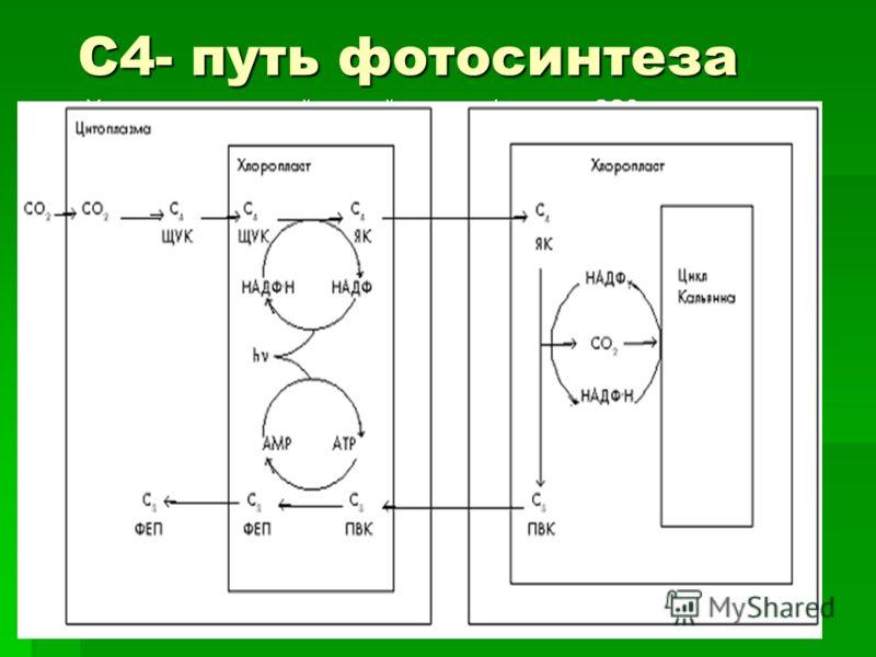 С4- путь фотосинтеза У некоторых растений первый продукт фиксации СО2 - не трехуглеродная молекула 3-глицерофосфата, а четырехуглеродное соединение - оксалоацетат. Отсюда этот путь фотосинтеза получил название С4-пути. Оксалоацетат затем быстро превр