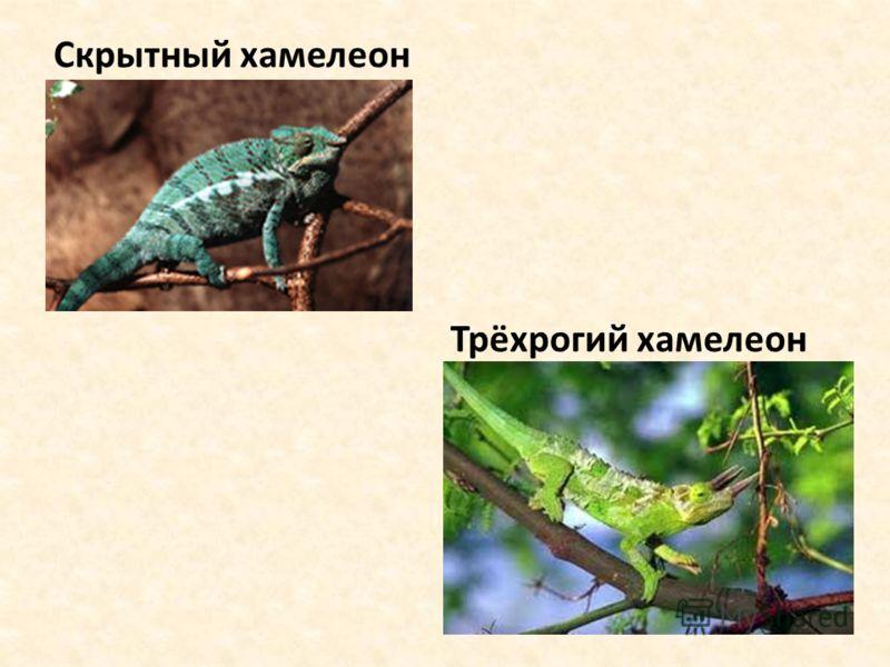 Скрытный хамелеон Трёхрогий хамелеон