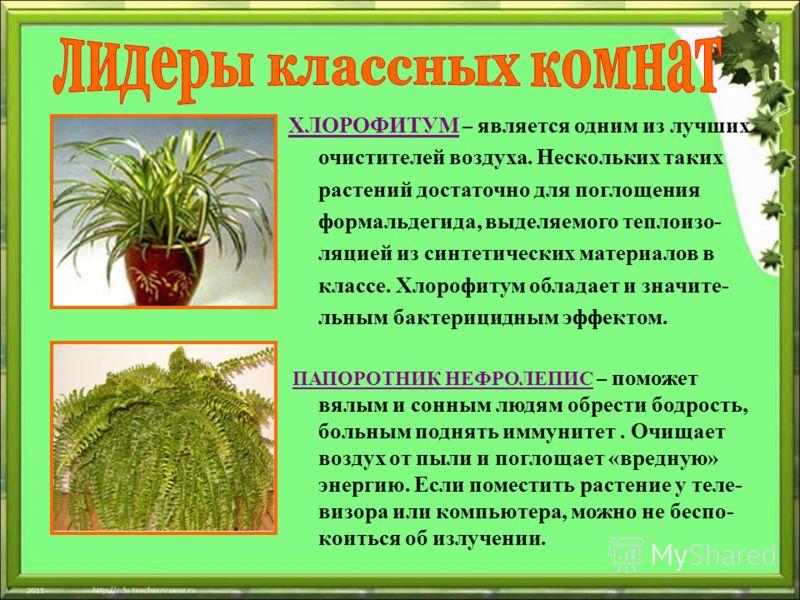 ХЛОРОФИТУМ – является одним из лучших очистителей воздуха. Нескольких таких растений достаточно для поглощения формальдегида, выделяемого теплоизо- ляцией из синтетических материалов в классе. Хлорофитум обладает и значите- льным бактерицидным эффект
