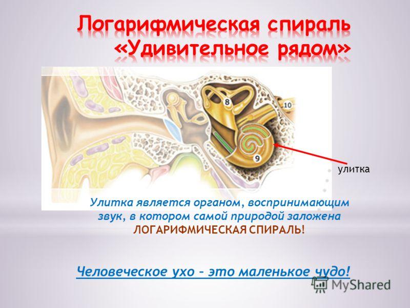 улитка Человеческое ухо – это маленькое чудо! Улитка является органом, воспринимающим звук, в котором самой природой заложена ЛОГАРИФМИЧЕСКАЯ СПИРАЛЬ!