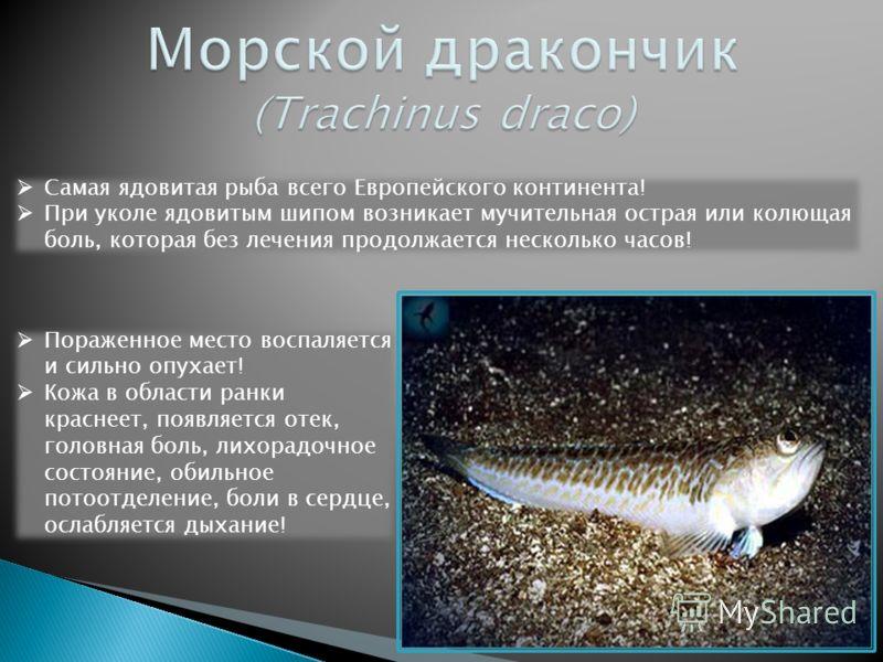 Самая ядовитая рыба всего Европейского континента! При уколе ядовитым шипом возникает мучительная острая или колющая боль, которая без лечения продолжается несколько часов! Пораженное место воспаляется и сильно опухает! Кожа в области ранки краснеет,