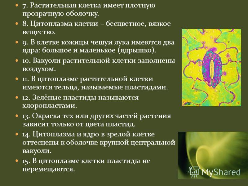 7. Растительная клетка имеет плотную прозрачную оболочку. 8. Цитоплазма клетки – бесцветное, вязкое вещество. 9. В клетке кожицы чешуи лука имеются два ядра: большое и маленькое (ядрышко). 10. Вакуоли растительной клетки заполнены воздухом. 11. В цит