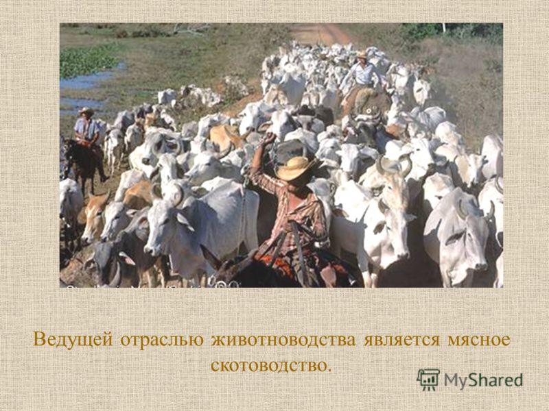 Ведущей отраслью животноводства является мясное скотоводство.