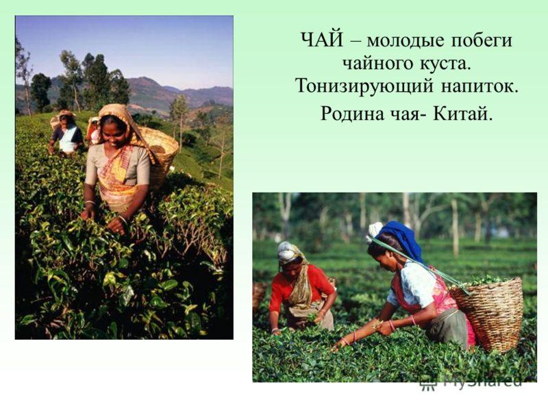 ЧАЙ – молодые побеги чайного куста. Тонизирующий напиток. Родина чая- Китай.