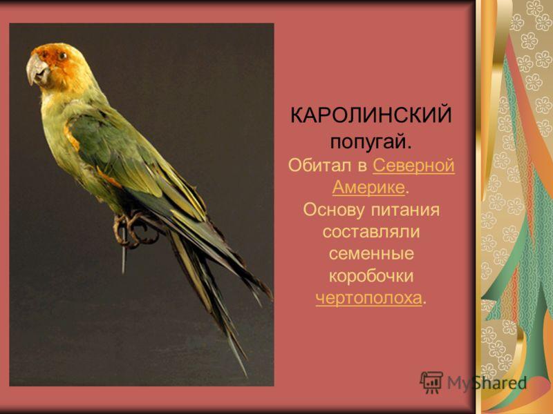 КАРОЛИНСКИЙ попугай. Обитал в Северной Америке. Основу питания составляли семенные коробочки чертополоха.Северной Америке чертополоха