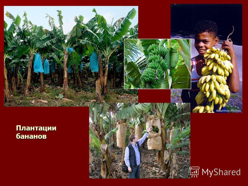 Плантации бананов